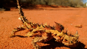 Thorny Devil Photos