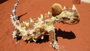 Thorny Devil Wallpapers Hd