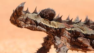 Thorny Devil Wallpapers Hq