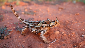 Thorny Devil Widescreen