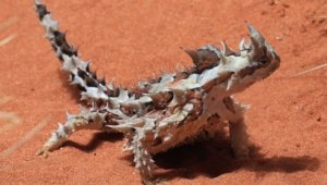 Thorny Devil For Desktop