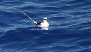 Tropicbird Wallpaper