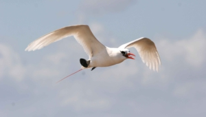 Tropicbird Wallpapers Hq