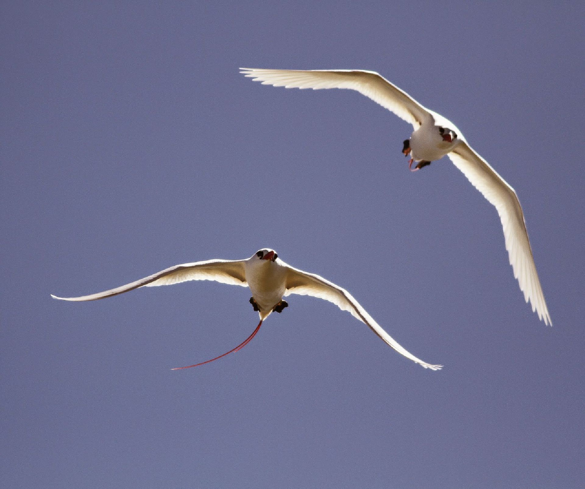 Tropicbird For Desktop