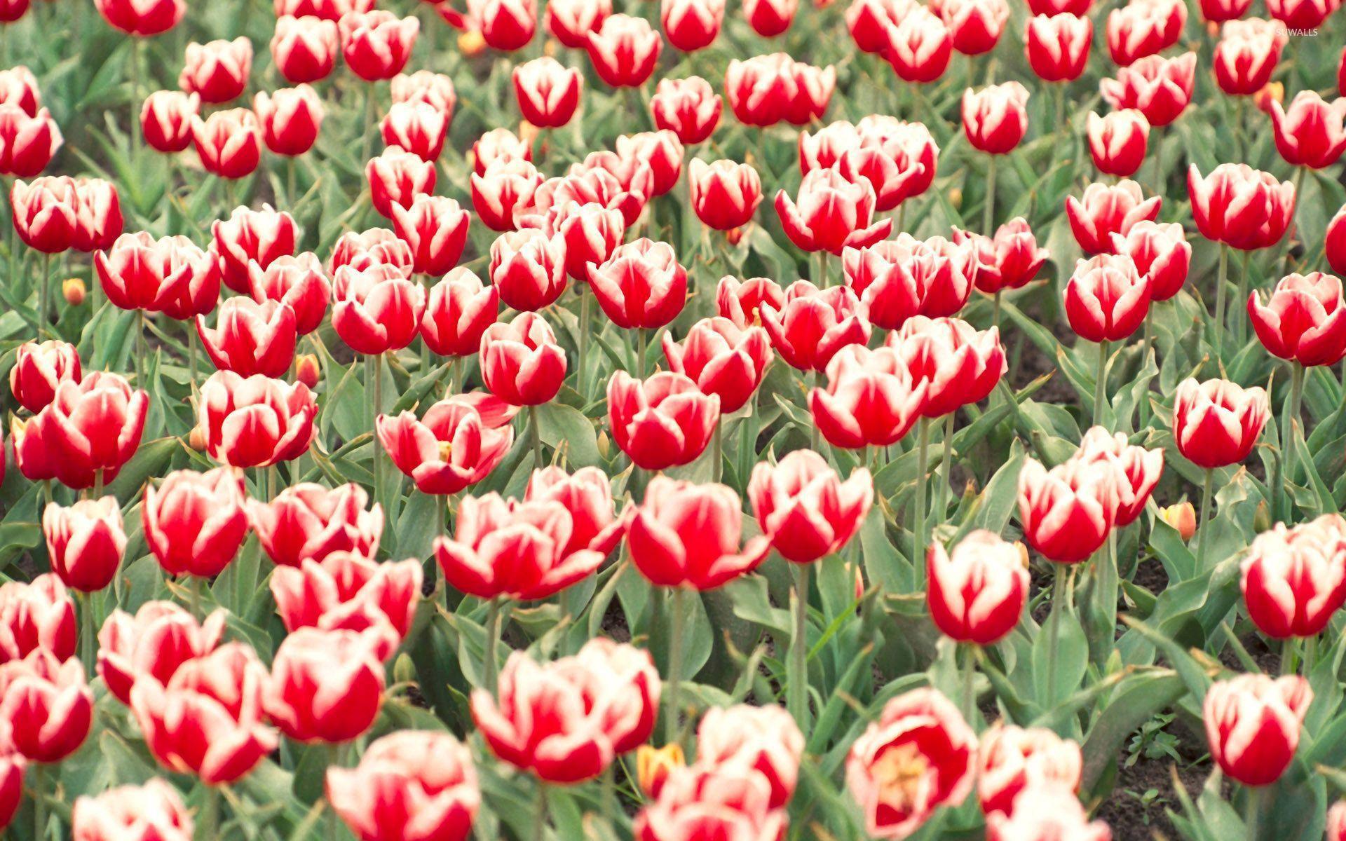 Tulips Computer Wallpaper