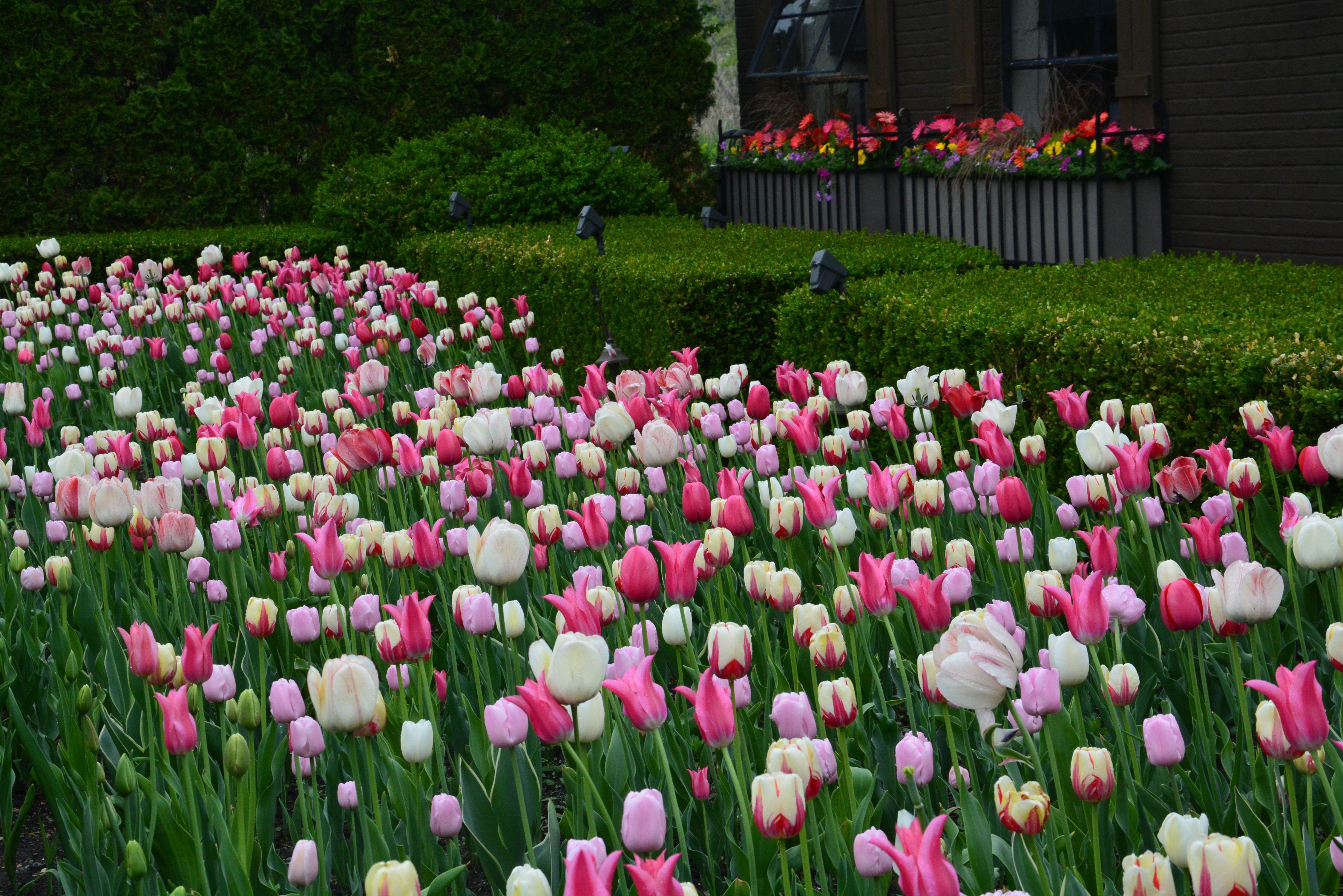 Tulips Hd Wallpaper