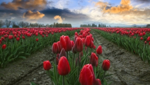 Tulips High Definition Wallpapers