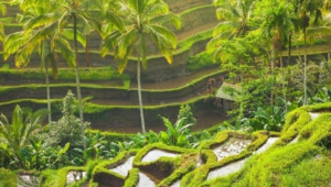 Ubud Wallpaper