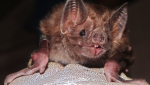 Vampire Bat Hd Background