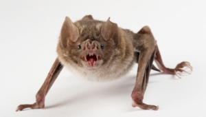 Vampire Bat Hd Desktop