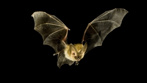 Vampire Bat Photos