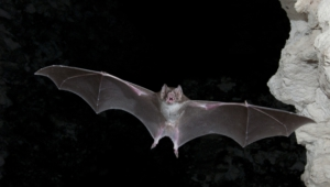 Vampire Bat Wallpapers Hd