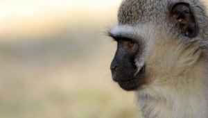 Vervet Monkey Free Download