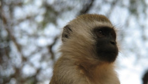Vervet Monkey Free Hd Wallpapers
