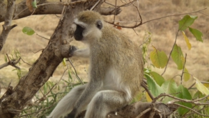 Vervet Monkey High Quality Wallpapers