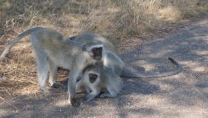 Vervet Monkey Images