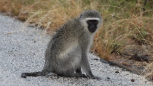 Vervet Monkey Photos