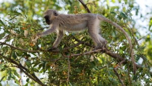 Vervet Monkey Wallpapers