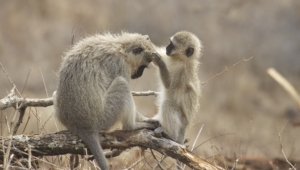Vervet Monkey For Desktop