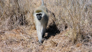 Vervet Monkey Full Hd