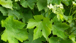 Vine Leaf High Quality Wallpapers