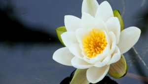Water Lily Computer Backgrounds