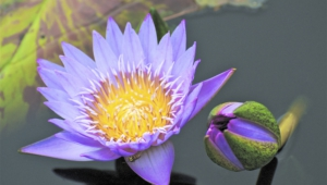Water Lily Computer Wallpaper