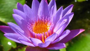 Water Lily Desktop Images