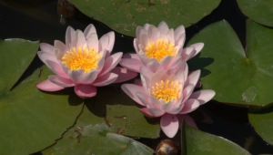 Water Lily Hd Background