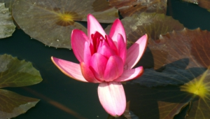 Water Lily Pics