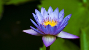 Water Lily Wallpapers Hd