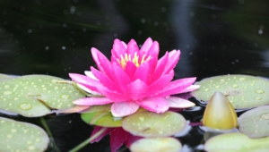 Water Lily Widescreen