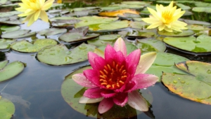 Water Lily For Desktop