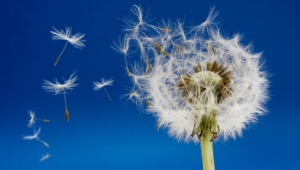 White Dandelion Computer Wallpaper