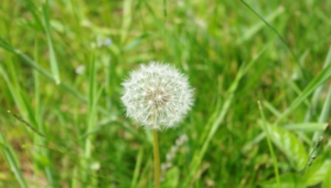 White Dandelion Hd