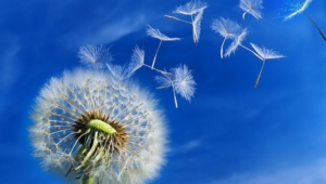 White Dandelion Pictures