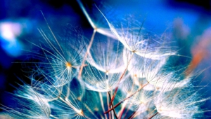 White Dandelion Wallpapers