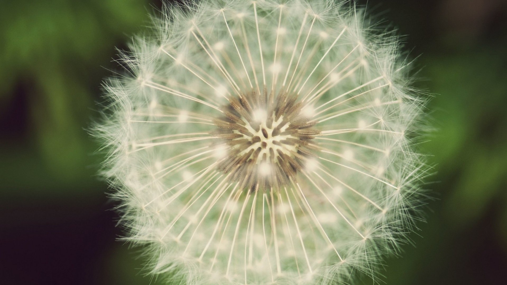 white dandelion wallpapers images photos pictures backgrounds