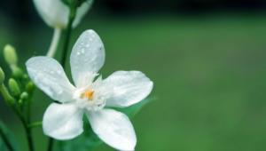 White Flowers 4k