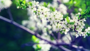 White Flowers Hd Desktop