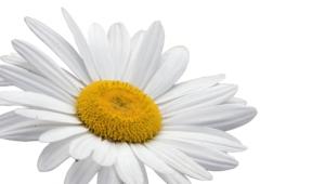 White Flowers Photos