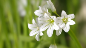 White Flowers For Desktop