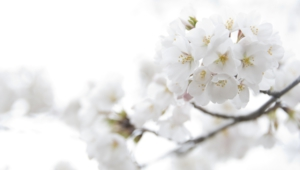 White Flowers Full Hd