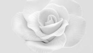 White Rose Hd