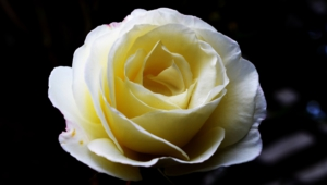 White Rose Images