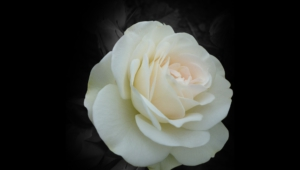 White Rose Widescreen