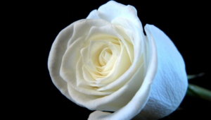 White Rose For Desktop