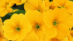 Yellow Flowers Wallpapers Hq