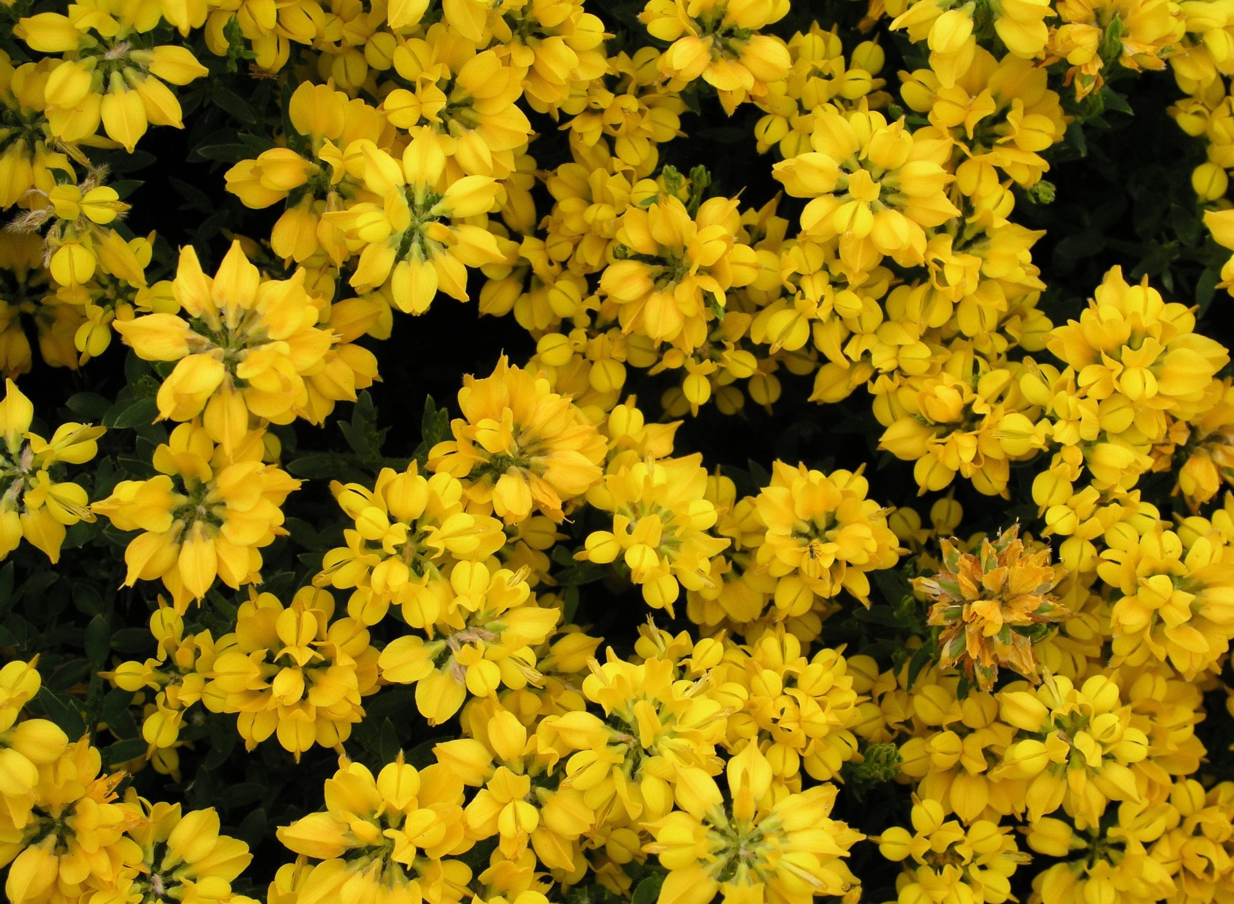 Многолетник с желтыми цветами название - Цветы на даче 79