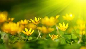 Yellow Flowers Full Hd